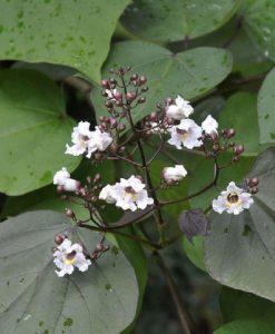 Catalpa erubescens Purpurea - Purple Indian Bean Tree