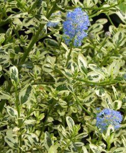 Ceanothus impressus Cool Blue - Hardy Variegated Victoria Ceanothus - LARGE SPECIMEN