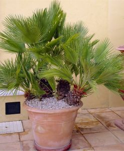 Chamaerops Humilis - Hardy Mediterranean Fan Palm - 60-70cms tall