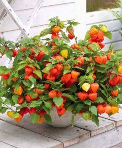 Chinese Lantern Plants - Physalis alkekengi var. franchetii - Pack of THREE