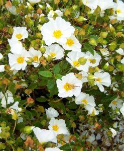Cistus salviifolius - White Rock Rose
