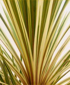 Cordyline australis Torbay Sparkler Dazzler