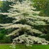 Cornus controversa variegata - Variegated Wedding Cake Tree