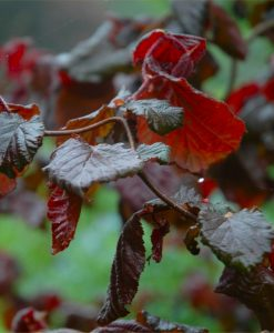 Corylus avellana contorta 'Red Majestic' - Red Corkscrew Twisted Hazel