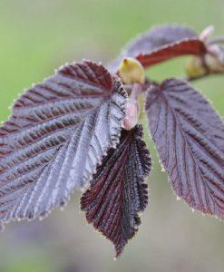 Corylus maxima purpurea - Purple Hazel