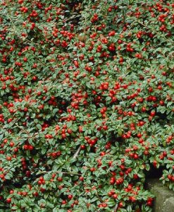 Cotoneaster Dammerii
