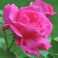 Large 6-7ft Specimen - Climbing Rose Zephirine Drouhin - The Thornless Rose Gardening Express