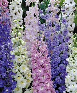 Delphinium Magical Collection - Pack of FIVE