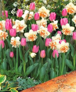 Designer Pink Tulip & Double Daffodil Blend - Pack of 10 Bulbs