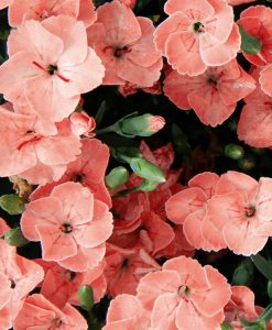 Dianthus Peach Party - Fragrant Pink In Bud & Bloom