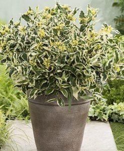 Diervilla sessilifolia Cool Splash - Bush Honeysuckle - New & Exclusive
