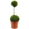 Duo Ball Buxus Topiary - Specimen Plant