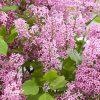 Dwarf Korean Lilac - Syringa SHRUB - Pack of TWO
