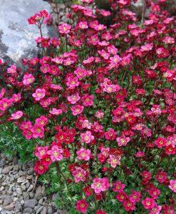 EXTRA LARGE - Saxifraga Mossy RED - Cushion Saxifrage Plants