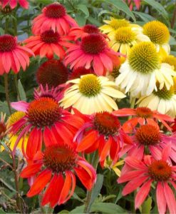Echinacea Cheyenne Spirit - Coneflower Plants in Amazing Colours