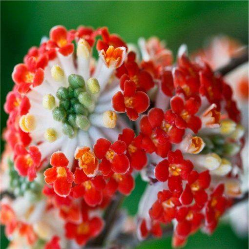 Edgeworthia chrysantha Red Dragon