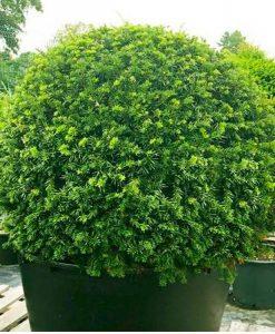 English Yew Topiary Ball - Taxus baccata - Large