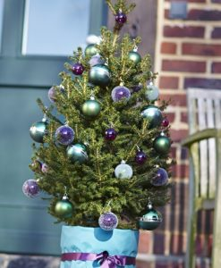 Fresh 'Little Santa' Christmas Tree - 80-100cm Potted Spruce + FOR IMMEDIATE DELIVERY