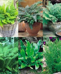 Gardening Express Fern Collection - FIVE Fabulous Contrasting Varieties