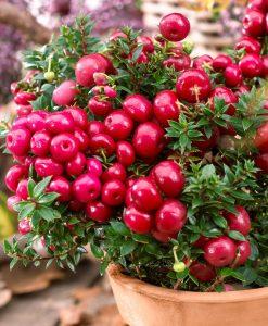 Gaultheria mucronata Royal Red - Pernettya