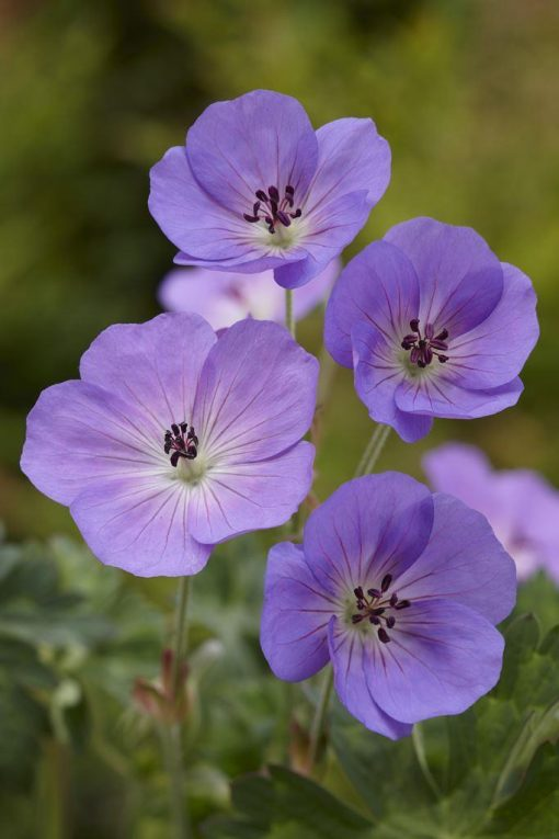 Geranium Rozanne 'Jolly Bee'