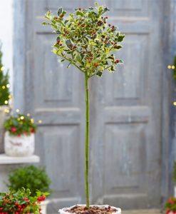 Gorgeous LARGE Variegated Holly Tree Standard - Ilex argentea marginata with Stylish Flared Black Planter