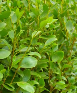 Griselinia littoralis 'Apple Green' - Green Horizon Newzealand Privet