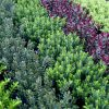 Hebe Magical Evergreen Assortment - Pack of FIVE