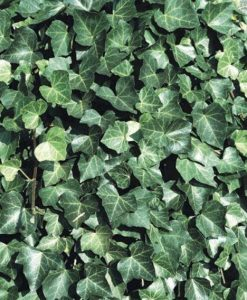 Hedera hibernica - Irish or Boston Ivy - (150-180cms/5-6ft tall) Screening Plants