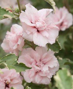 Hibiscus Sugar Tip - Rose of Sharon Double Flowering Variegated Hibiscus
