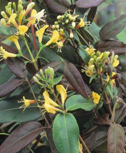 Honeysuckle - Large 6-7ft Specimen Plant - Lonicera henryi 'Copper Beauty' - Evergreen Honeysuckle