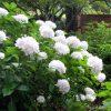 Hydrangea macrophylla White Mophead - Large White Flowers