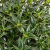 Ilex aquifolium Myrtifolia - Dwarf Male Holly