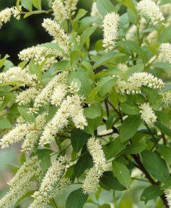 Itea Henry's Garnet ilicifolia - Virginian Willow