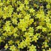 Jasminum nudiflorum - Winter Jasmin - Bright Yellow Flowering Winter Jasmine