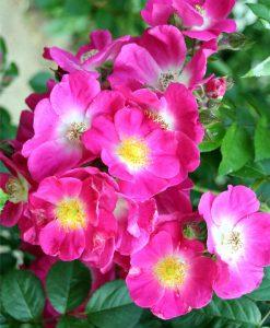 Large 6-7ft Specimen - Climbing Rose American Pillar