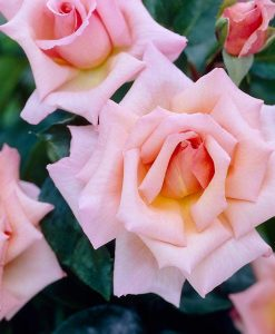 Large 6-7ft Specimen - Climbing Rose Compassion - Scented Climber