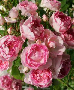 Large 6-7ft Specimen - Climbing Rose Jasmina
