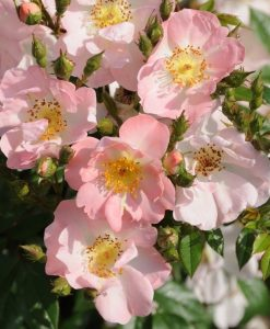 Large 6-7ft Specimen - Climbing Rose Open Arms - Soft pink flowers