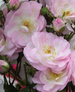 Large 6-7ft Specimen - Climbing Rose - Perennial Blush