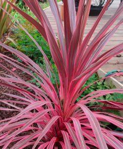 Large Pink Cordyline 'Southern Splendour' - Stunning Hardy Torbay Palm Specimen