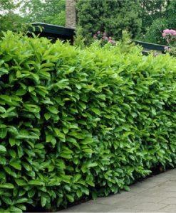 Laurel Hedging - Prunus laurocerasus Rotundifolia Hedging Laurels - Approx 2ft tall Plants