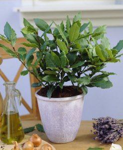 Laurus nobilis - Bay Tree - Young Bush - Kitchen Bay