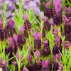 Lavender - Lavendula stoechas Blue Star