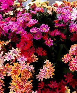 Lewisia Mountain Dream - Gorgeous Lewisia Plants in assorted colours