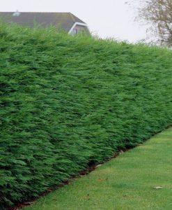 Leylandii - Green Leyland Cypress - Cuprocyparis leylandii - Approx 6ft Hedging Conifers