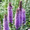 Liatris spicata Floristan Violet - Gay Feather