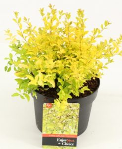 Ligustrum Lemon and Lime
