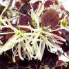 Loropetalum chinensis 'Ruby Snow' - Chinese Witch Hazel