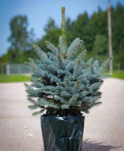 Luxury Fresh Christmas Tree - Pot Blue Spruce (Picea pungens glauca) - For Immediate Delivery